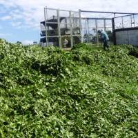 Rechazan cosecha de té: el productor tuvo que tirar la carga completa de 11.000 Kilos a la calle