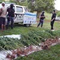 Descubrieron una enorme plantación de marihuana en una chacra y hay un detenido