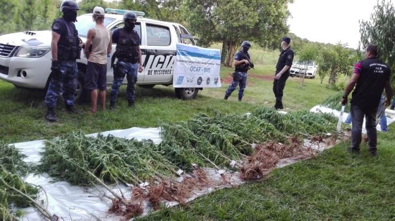 Descubrieron una enorme plantación de marihuana en una chacra y hay undetenido