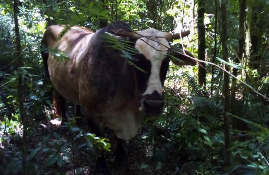 Recuperaron un buey robado a una familia agrícola en PicadaPropaganda
