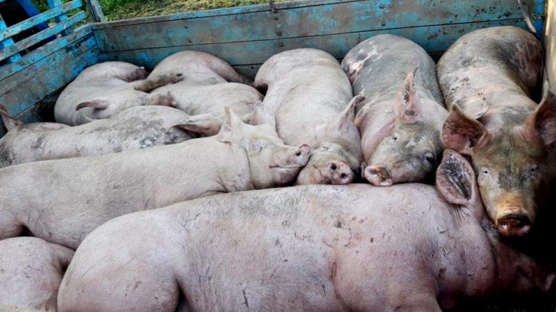 16 porcinos incautados en un camino rural serán sacrificados por riesgosanitario