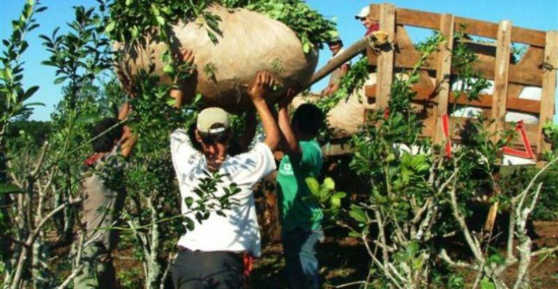El nuevo INYM busca limitar plantaciones a 10 hectáreas por unidad productiva, cupificación y crear una obrasocial