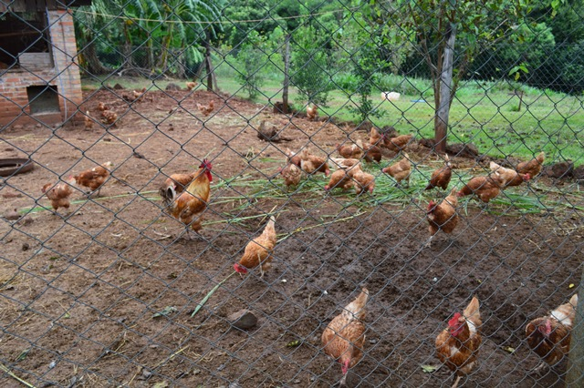 Fabricarán matadero familiar destinado a feriantes, el diseño base ya produce 300 pollossemanales