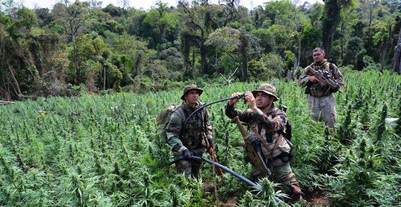 Gendarmería y el SENAD destruyeron plantaciones de marihuana y 28 campamentos enItapúa