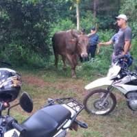 Hallaron oculto en el monte un buey de 350 kilos que había sido robado