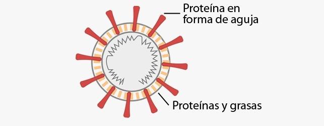 Así secuestra las células el coronavirus y sereplica