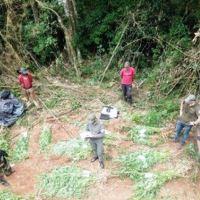 Hallaron cultivo más de mil plantas de marihuana en el paraje Yacutinga
